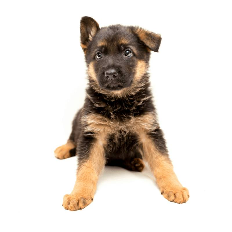 Why German Shepherds are Great Pets