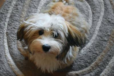 Why a Havanese Would Make a Great Pet?