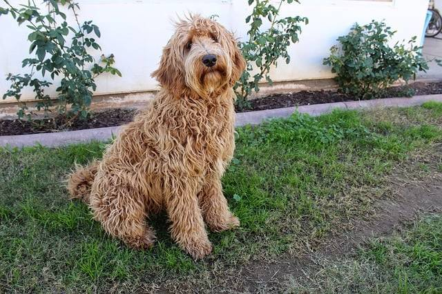 Why Labradoodle Make Great Pets?