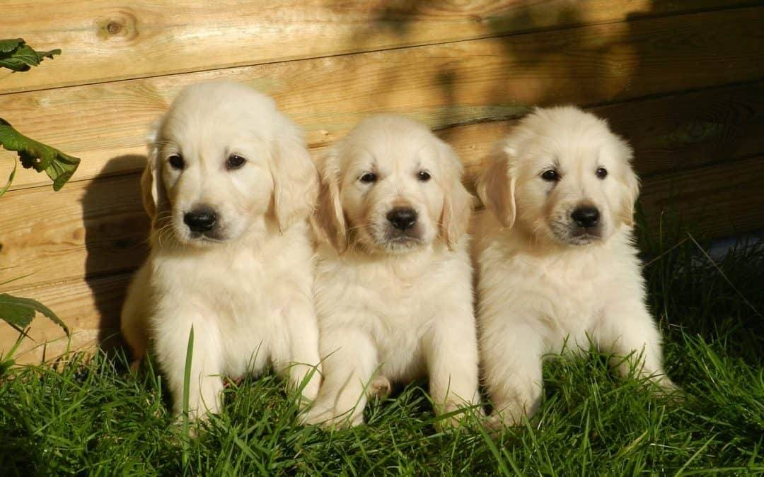 Why a Golden Retriever Would Make a Great Pet