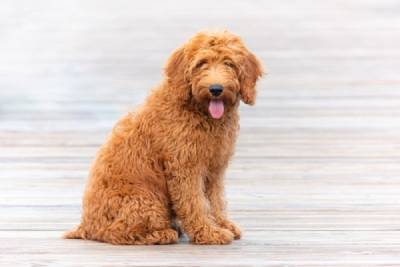Why Goldendoodles make Great Pets