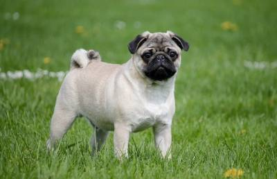 Why Pugs Would Make Great Pets?