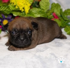 French Bulldog-Bonnie2-onebarkplaza.com