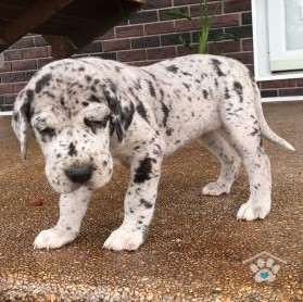 Great Dane-Liberty1-onebarkplaza.com