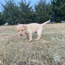 Labrador Retriever-Harry4-onebarkplaza.com