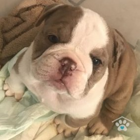 English Bulldog-Princess4-onebarkplaza.com