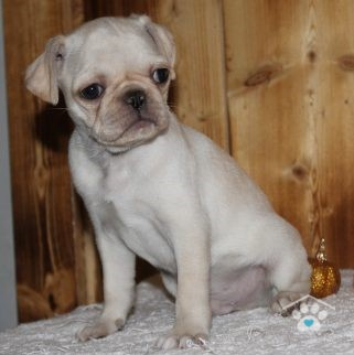 pugs, Why Pugs Would Make Great Pets?