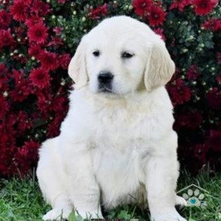 Golden Retriever-Buster1-onebarkplaza.com