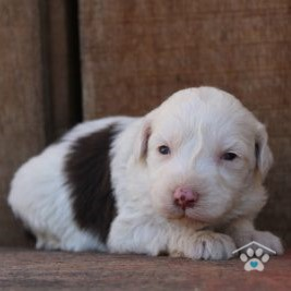 Mixed Breed Dogs / Designer Breed-Gavin1-onebarkplaza.com