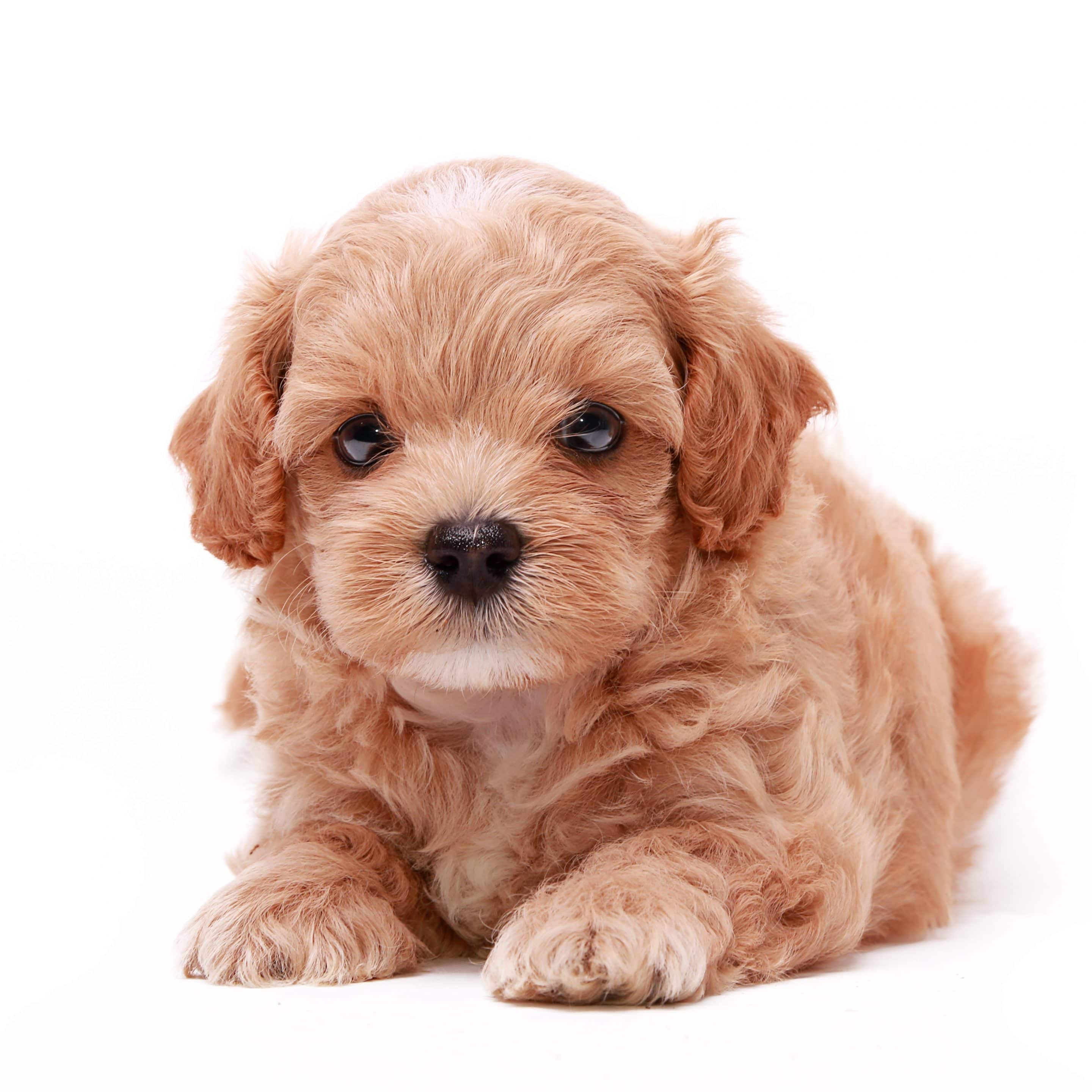 Buy Puppies Online Buy A Puppy Near Me Dogs For Sale