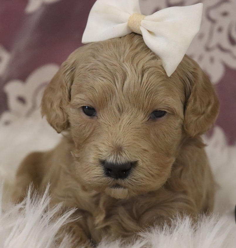 Goldendoodle-Honey1-onebarkplaza.com
