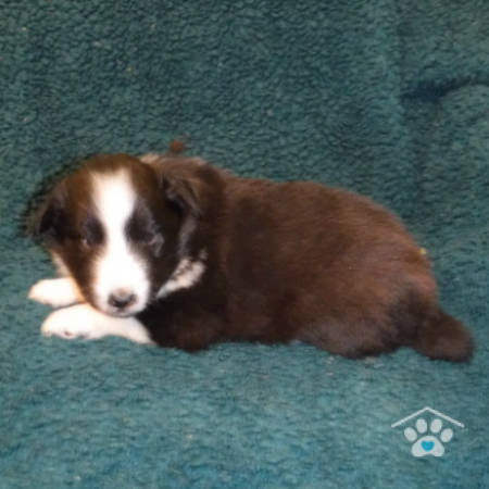 Shetland Sheepdog-Willy3-onebarkplaza.com